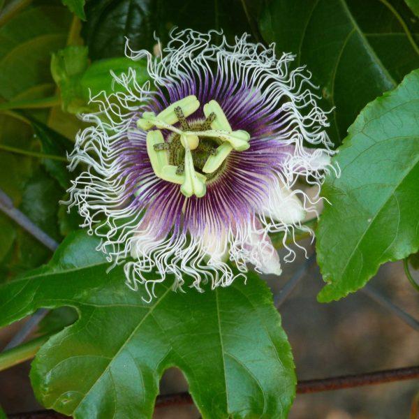 Passion Fruit Blossom