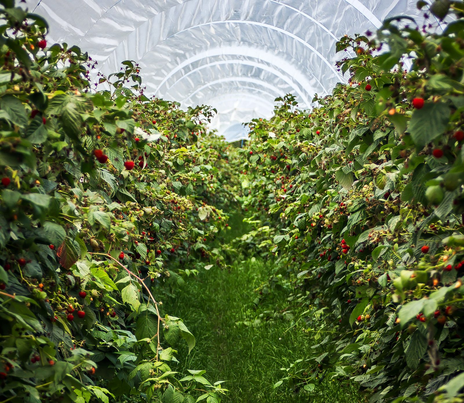 Berry Patches