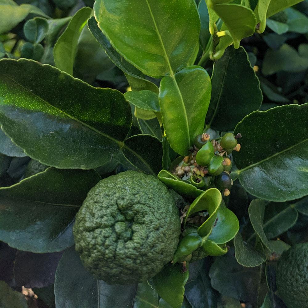Citrus Orchard